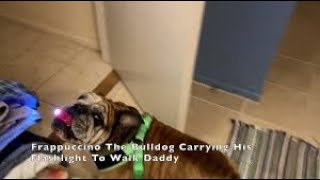 Download Bulldog carries flashlight in mouth for night walks Video