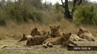 Download Lions of Moremi Highlights - The Finale Video