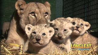 Download Longleat Lion Cubs at four weeks old! Video