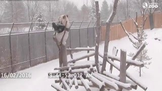 Download Toronto Zoo Giant Panda Climbing in the Snow! Video
