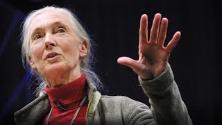 Download What separates us from chimpanzees? | Jane Goodall Video