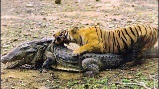 Download Tigres cazando   Animales cazando Video