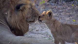 Download SafariLIVE PM Nkuhuma Lion Cubs Playing With Birmingham Male Video