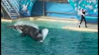 Download Shamu attacks and kills Pelican during show Video