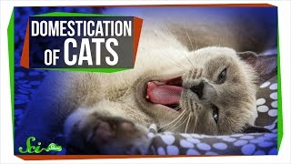 Download Where Do Domestic Cats Come From? Video