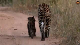Download SafariLive Jan 21- Last minute Leopard Thandi and cub! Video