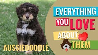 Download Aussiedoodle - All Facts About The Friendly Furry Partner Video