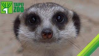 Download 狐獴家族推擠拉扯搶食物-保育員客房服務送月子餐 / Feeding Meerkats (Eng Sub) Video