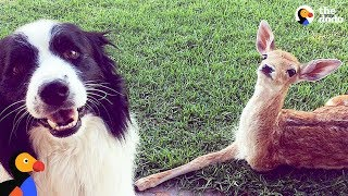 Download 3-Legged Deer Is So Grateful His Mom Saved Him | The Dodo Video