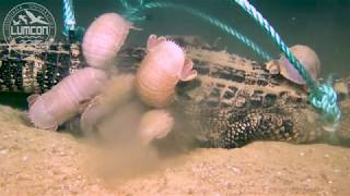 Download First-ever deep-sea alligator food fall Video