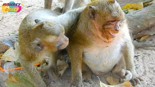 Download SweetPea fear with Dee Dee why don't like before Pea? |Poor SP hurt with leg much |Monkey Daily 2618 Video