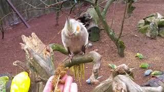 Download Muhabbet kuşlarını salmada elle beslemek, Sultan papağanı ciftleşmesi videonun sonunda Video
