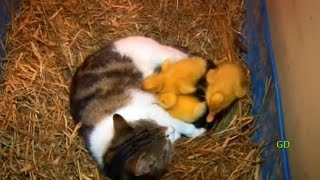 Download The Cat & The Ducklings (Animal Odd Couples) Video