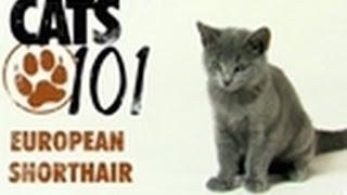Download European Shorthair | Cats 101 Video