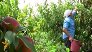 Download Moldovan Farmer Upbeat Despite Russia's Fruit Ban Video