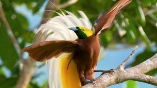 Download Lesser Bird-of-Paradise Video