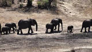Download Djuma: Breeding herd of Elephants come for a drink - 09:41 - 10/15/18 Video