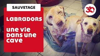 Download Ces labradors ont été sauvés d'une cave par la Fondation 30 Millions d'Amis Video