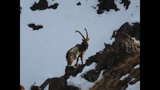 Download Ibex hunt in Kyrgistan november 2019 Video