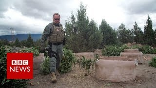 Download Weed wars: California county fights illegal marijuana - BBC News Video