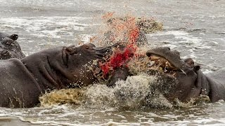 Download When Hippos Attack Video