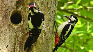 Download Great Spotted Woodpecker and Chicks 2018 Video