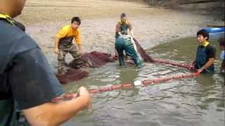 Download Harvesting a dainichi koi mud pond Video