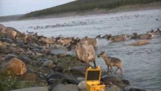 Download Caribou Migration Video