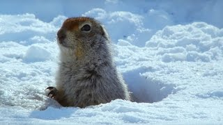 Download How an Arctic Squirrel Survives Winter - Wild Alaska - BBC Video