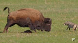 Download Yellowstone COYOTE VS BISON Video