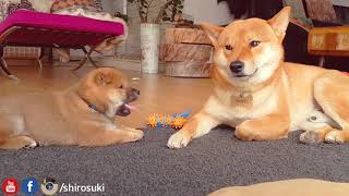 Download shiba inu dad do ANGERY - Part VII Video