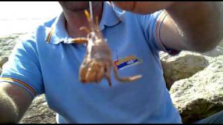 Download Anzuelado de un cangrejo (Crab-Granchio-Caranguejo) verde o Coñeta Video