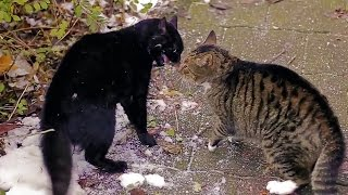 Download Big Alley Cats Fight Video