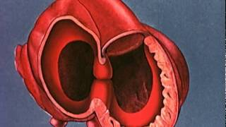 Download Heart embryology video Video