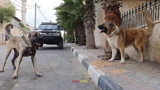 Download افخم و اضخم الكلاب الكانجال التركي والراعي القوقازي مع جمال العمواسي Video