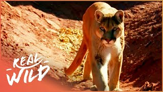 Download Lion of the Americas [Mountain Lion Documentary] | Wild Things Video