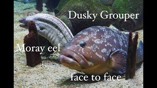 Download Uncommon behaviour: Grouper stalks morey eel, Medes Islands, Spain Video