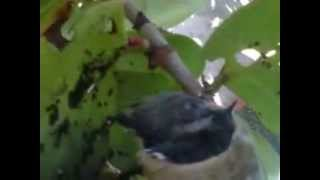 Download HUMMINGBIRD NEST- NIDO DE COLIBRI Video