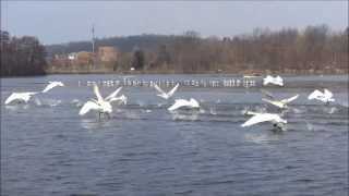 Download 17 Trumpeter Swans Taking Off!!! Video
