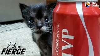 Download Littlest Kitten Ever Grows Up To Be A Mini Cat | The Dodo Little But Fierce Video