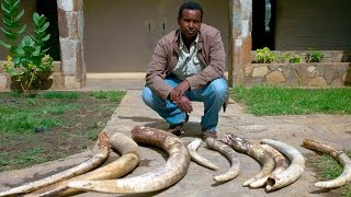 Download Panorama - Ivory Wars: Out of Africa (12 Apr 2012) [BBC] Video