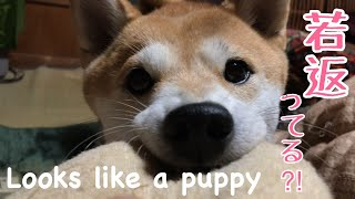 Download 遊んでる時の顔が子犬みたいな成犬 Face looks like a puppy Video