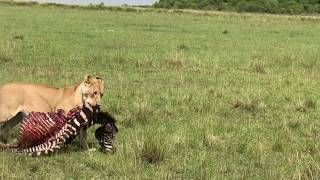 Download Hyena trying to steal a lion's kill. Video