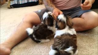 Download 8 week old Shih Tzu Puppies learn some basic obedience Video