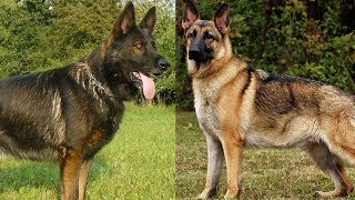Download The Different Types of German Shepherds Which One Should You Get Video