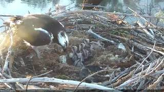 Download Hatching of Osprey Chick #4 Video
