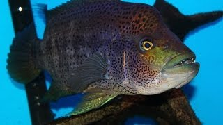 Download Very Aggressive Fish - The Growing Pains of keeping a Wolf Cichlid ″Parachromis dovii″ Video