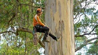 Download Climbing the giant karri trees of Western Australia Video