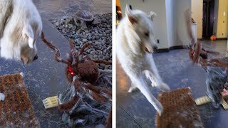Download DOGS REACT TO SPOOKY HALLOWEEN DECORATIONS - Super Cooper Sunday #118 Video