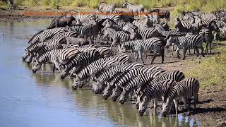 Download Maziti Dam Zebra Migration in Kruger Park Video
